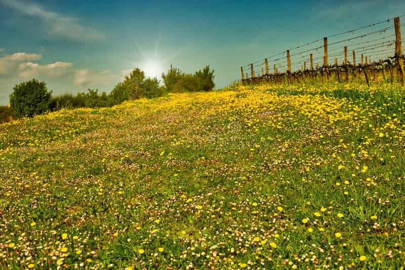 Заход солнца на виноградниках стоковые фотографии rf