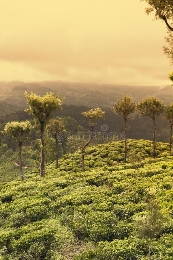 Заход солнца на плантациях чая стоковое изображение