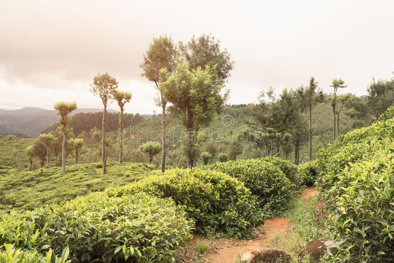 Заход солнца на плантациях чая стоковое фото rf