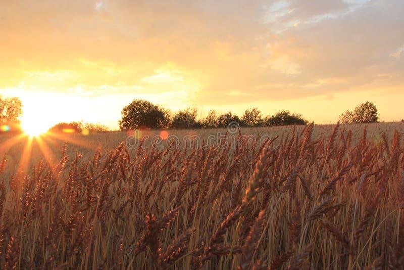 Заход солнца на пшеничном поле стоковые фотографии rf