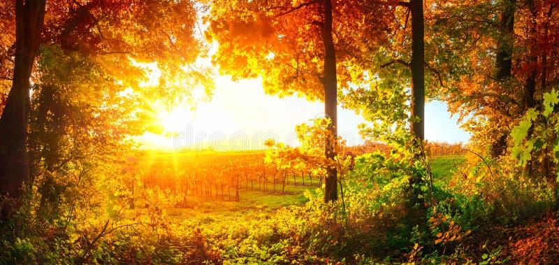 Заход солнца обрамленный деревьями и виноградником стоковая фотография rf