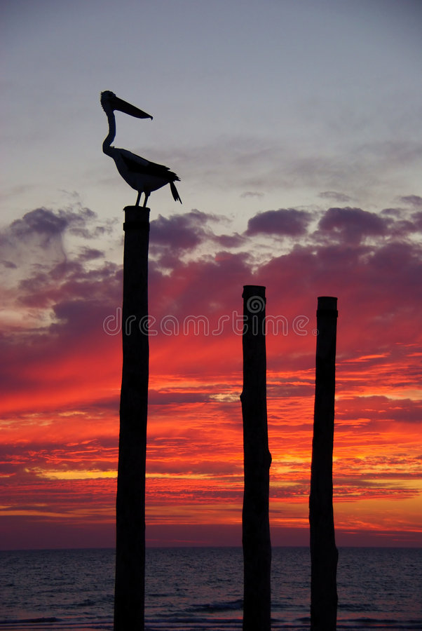 заход солнца пеликана стоковое фото rf