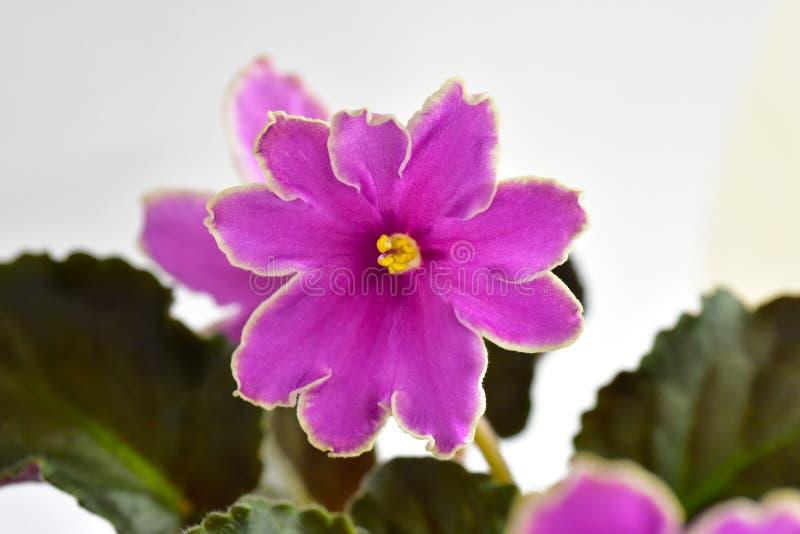 Заход солнца сортов растений африканского фиолета ледистый стоковое изображение