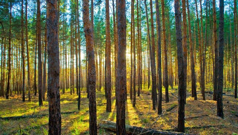 заход солнца сосенки пущи scots стоковое фото rf