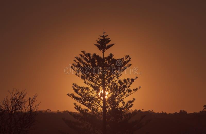 Заход солнца сосны Норфолка стоковая фотография