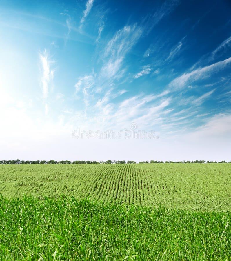 Заход солнца с облаками над аграрным зеленым полем с солнцецветами стоковые фото