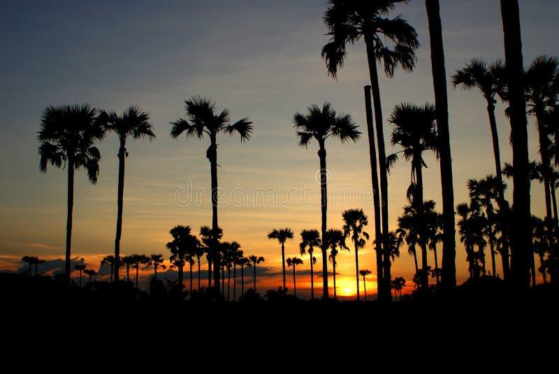 Заход солнца с пальмами сахара стоковое фото rf