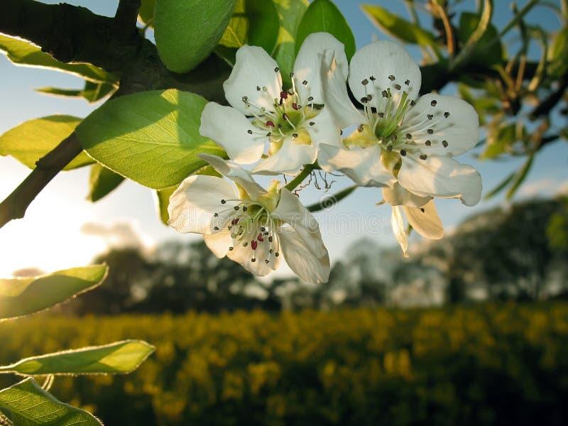 заход солнца цветения яблока стоковые изображения rf