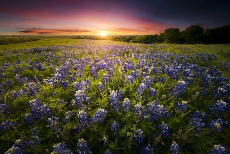 Заход солнца Bluebonnet Техаса стоковые изображения rf
