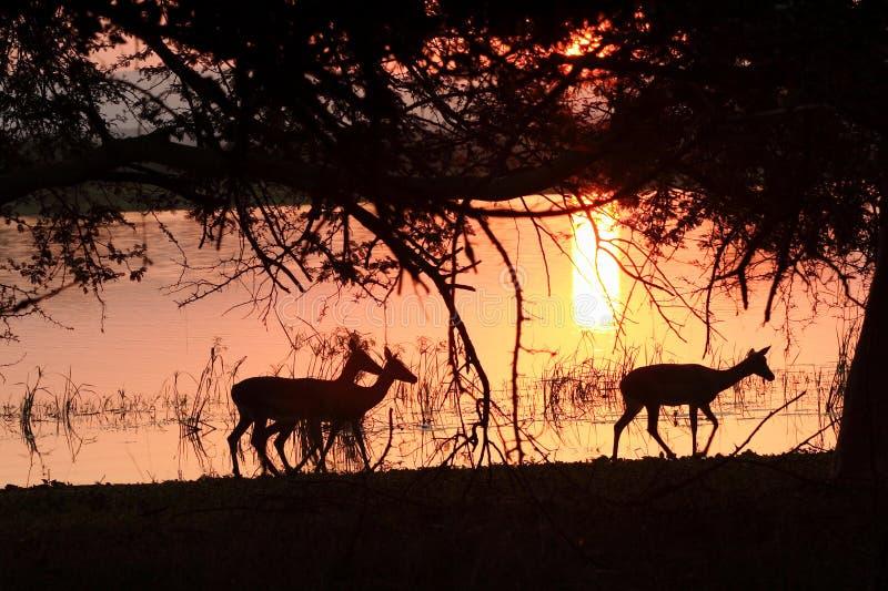 заход солнца impala стоковые фото