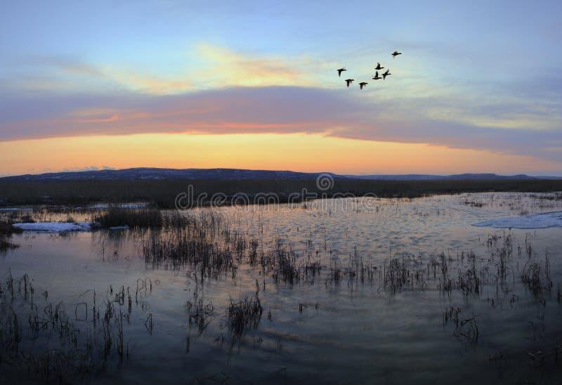 заход солнца mallards летания стоковая фотография rf