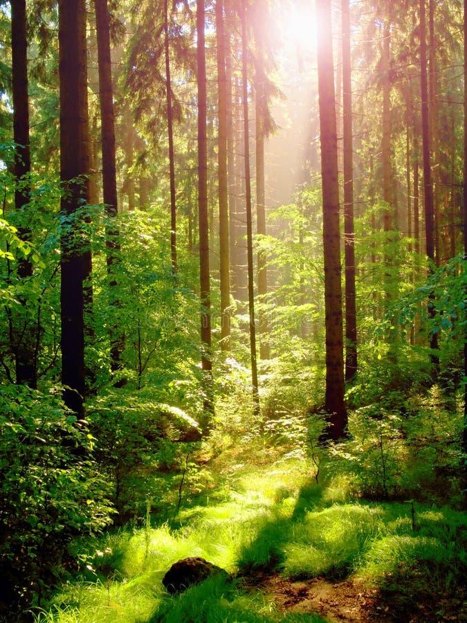 Заход солнца весны в глубоком ом-зелен лесе стоковая фотография rf