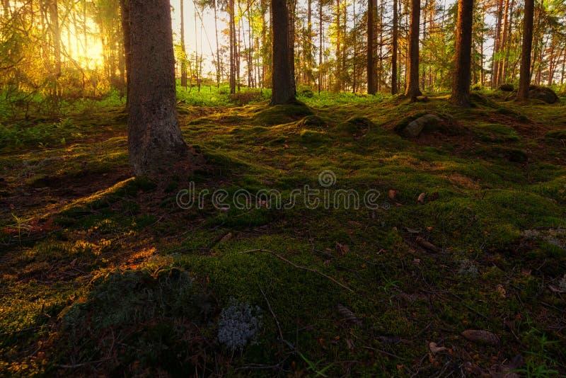 Заход солнца в лесе сосенки стоковое изображение rf