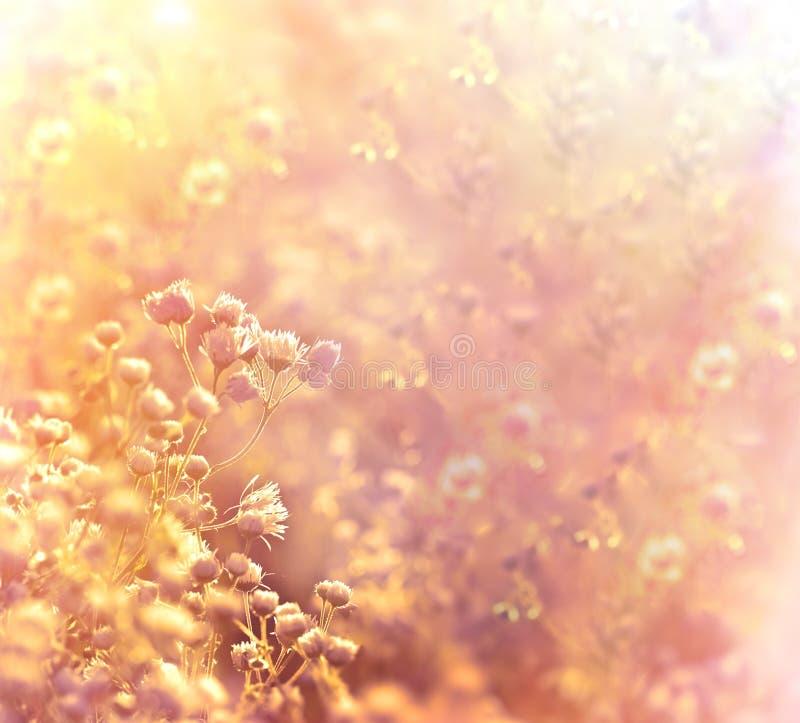 Заход солнца в луге маргаритки цветка стоковое изображение rf