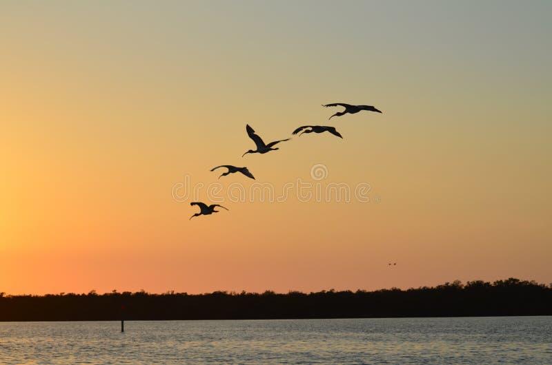 Заход солнца в Captiva - Ibis в полете стоковые фотографии rf
