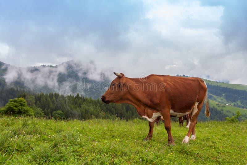 заход солнца гор ландшафта изображения hdr величественный Корова пасет в красивых горах, прикарпатских горах стоковые изображения
