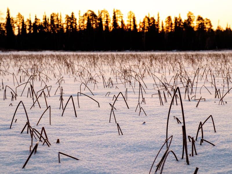 Заход солнца зимы и замороженные тростники покрытые с снегом стоковые изображения rf