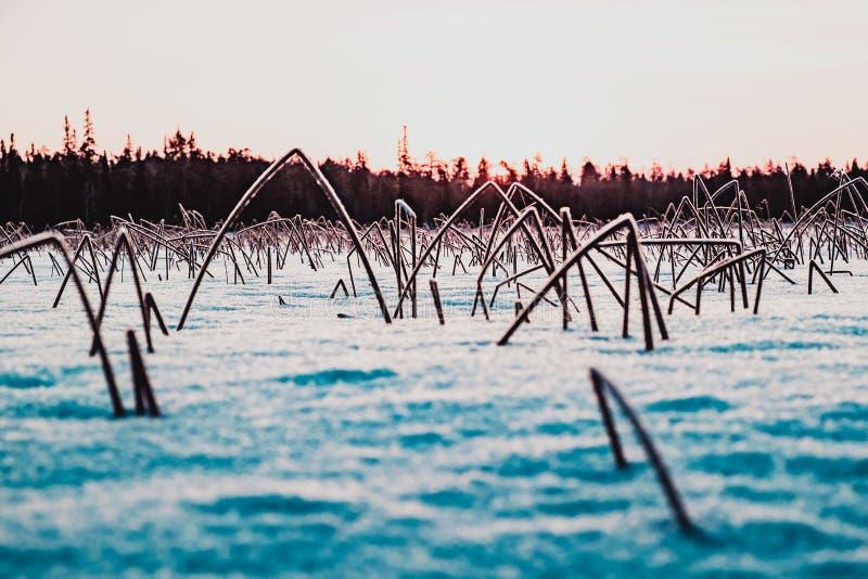 Заход солнца зимы и замороженные тростники покрытые с снегом стоковое изображение rf