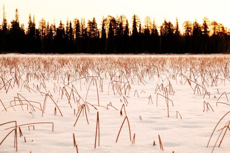 Заход солнца зимы и замороженные тростники покрытые с снегом стоковая фотография rf