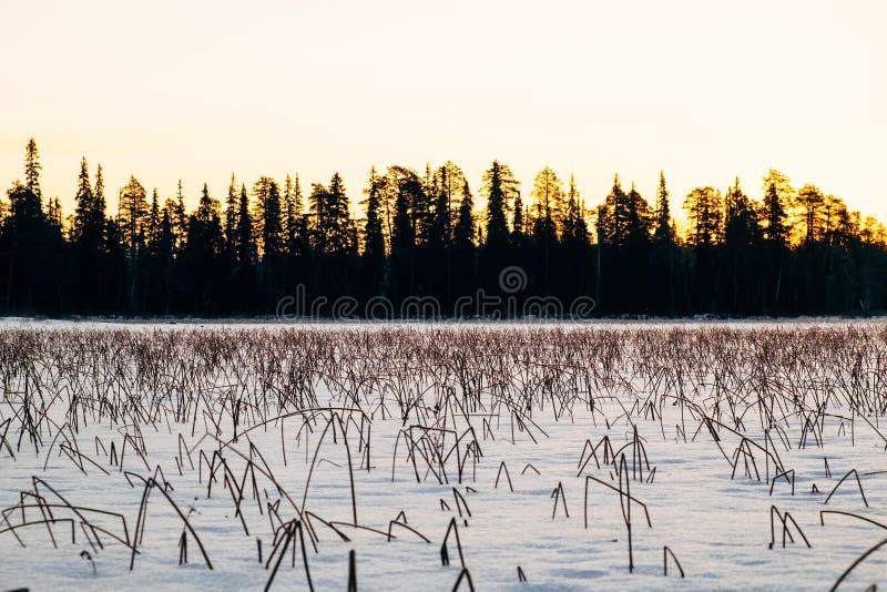 Заход солнца зимы и замороженные тростники покрытые с снегом стоковые фотографии rf