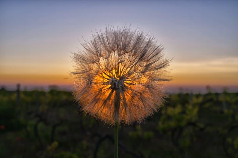 Заход солнца и вянуть одуванчик стоковая фотография rf