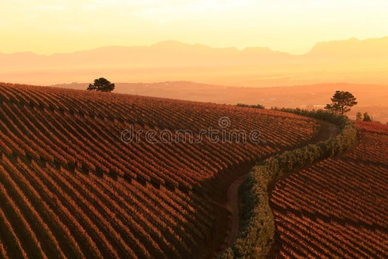 Заход солнца над виноградниками стоковые изображения rf
