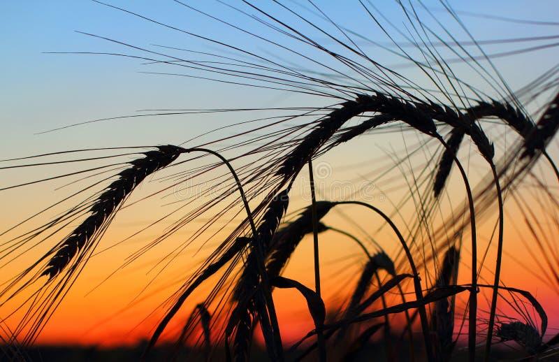 Заход солнца над полем овсов стоковая фотография