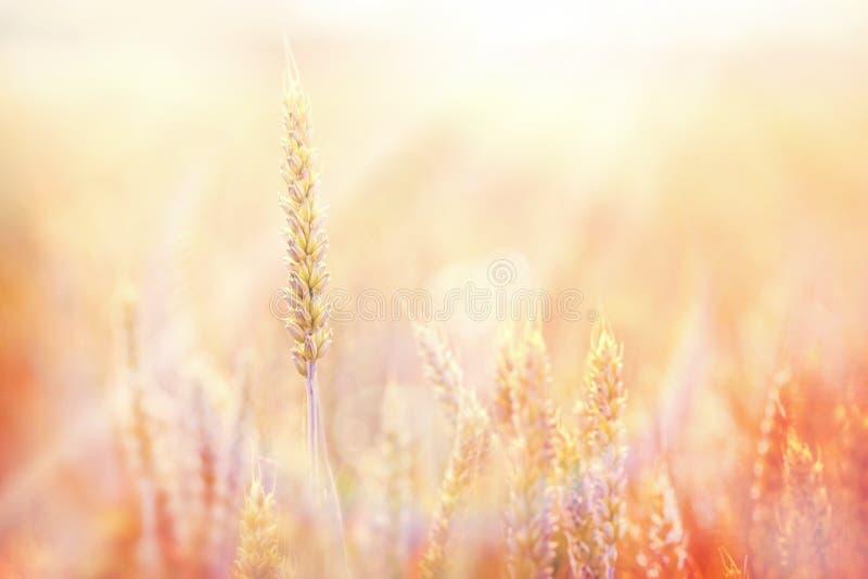 Заход солнца на пшеничном поле стоковые изображения rf