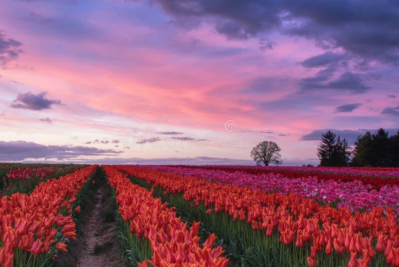 Заход солнца над тюльпанами стоковые фотографии rf