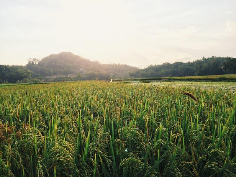 Заход солнца 2 поля риса стоковое изображение