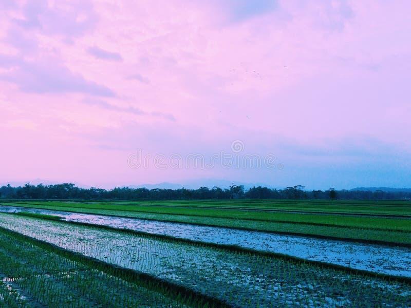 Заход солнца 3 поля риса стоковые фотографии rf