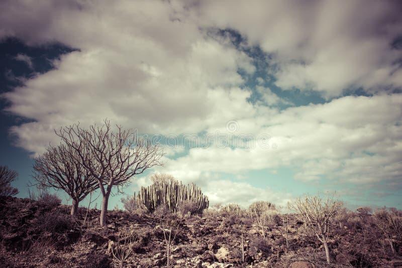 Заход солнца пустыни кактуса в Канарских островах Тенерифе стоковое фото rf