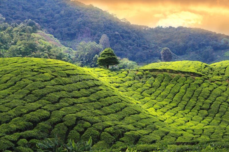 Заход солнца плантаций чая стоковое фото rf