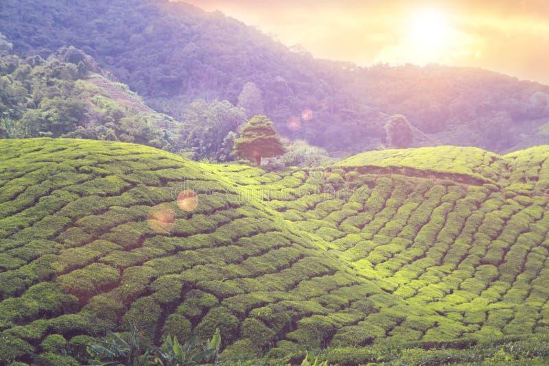Заход солнца плантаций чая стоковые фото