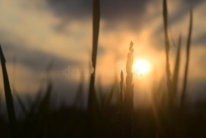 Заход солнца риса стоковое изображение