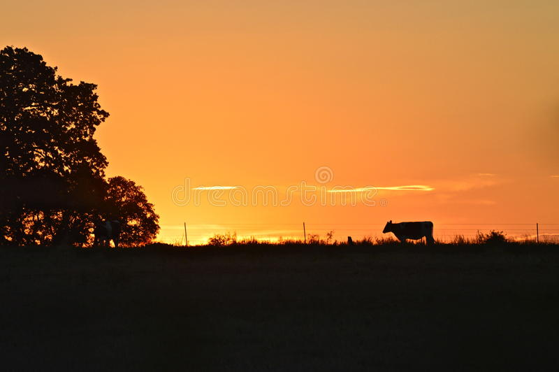 Заход солнца Техаса с молочной коровой стоковые изображения