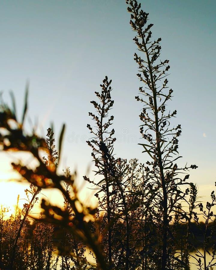Заход солнца через траву стоковые изображения