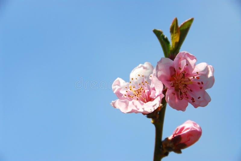 зацветает персик стоковые фото