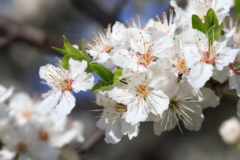 Зацветать разветвляет весной стоковые фотографии rf