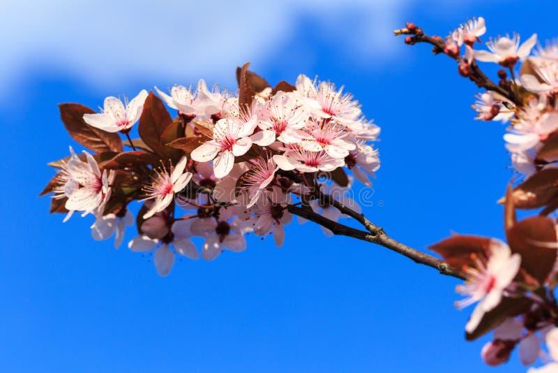 Зацветать разветвляет весной стоковая фотография rf