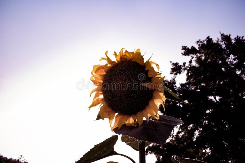 Зацветать солнцецвета стоковые фотографии rf