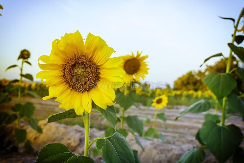 Зацветать солнцецвета стоковое фото