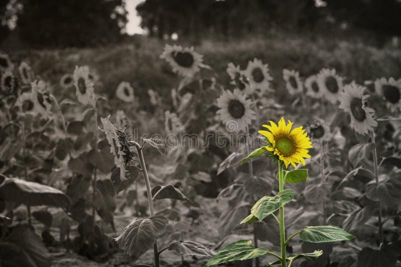 Зацветать солнцецвета стоковое фото rf