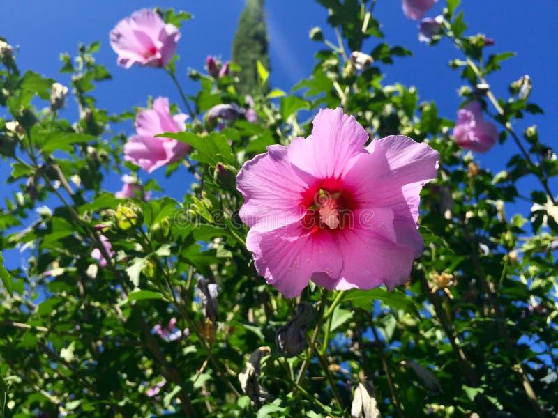 Зацветать цветков гибискуса стоковая фотография