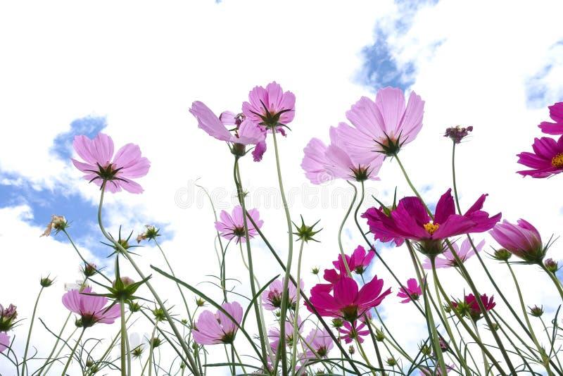 Зацветать цветков космоса стоковое изображение rf