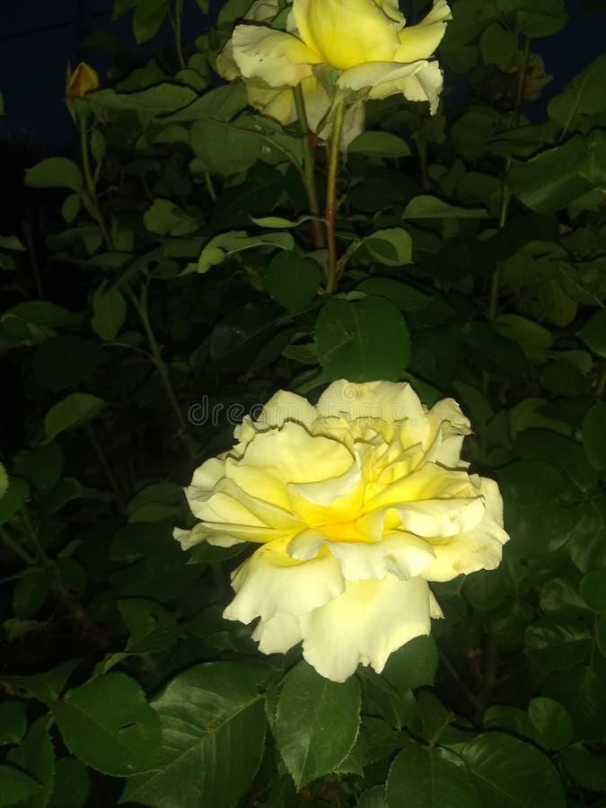 Зацветать цветков Yelliw стоковые фотографии rf