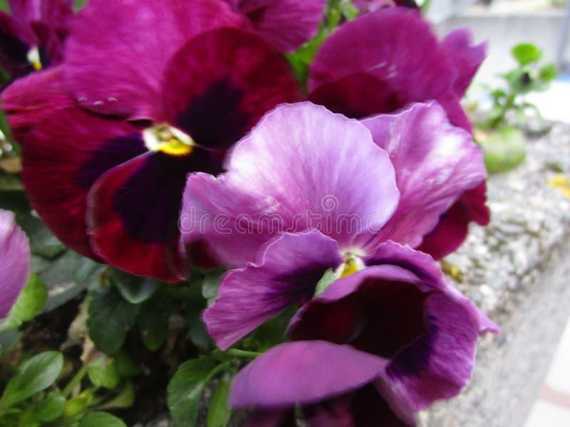 Зацветать яркого привлекательного лакомства природы желтый и пурпурный pansy цветков стоковая фотография rf