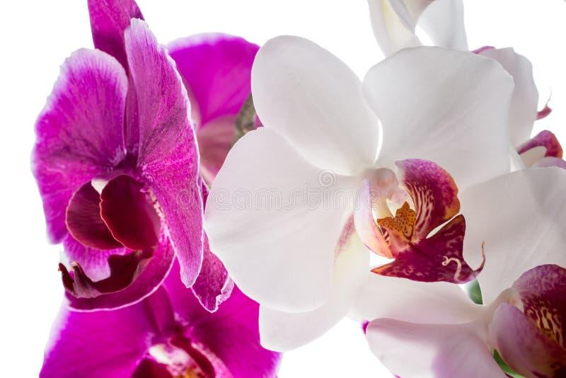 Download Зацветающ фиолетовый и белый цветок орхидеи, фаленопсис Стоковое Изображение - изображение насчитывающей backhoe, орхидея: 40591573