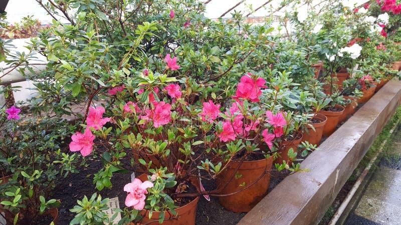 Зацветая азалии в ботаническом саде стоковая фотография rf