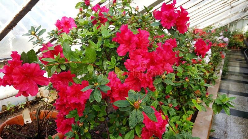 Зацветая азалии в ботаническом саде стоковое изображение rf